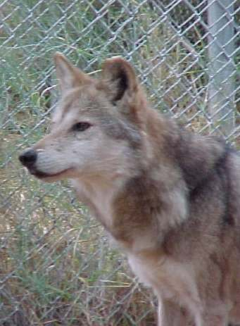 an introduction to the gray wolf or canis lupus The grey wolf (canis lupus hereafter wolf) was designated as not at risk by the   management of wolves began before 1907 with the introduction of a bounty.